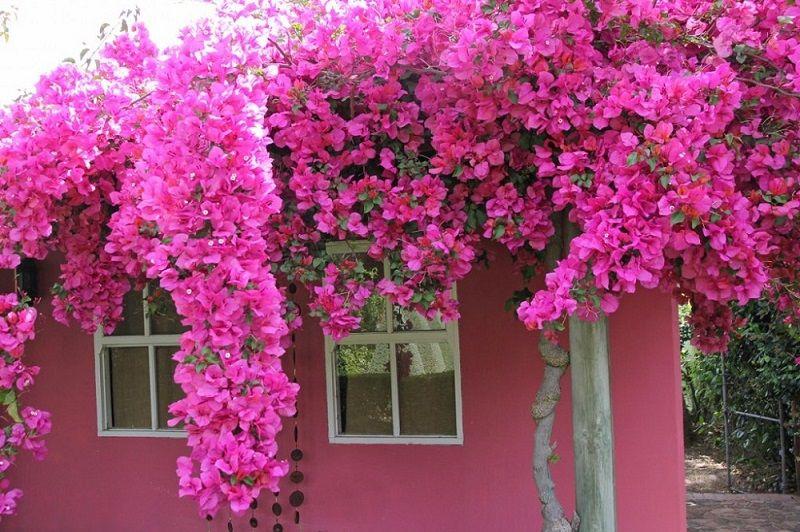 Trồng dàn hoa giấy ở khu vực tiếp xúc ánh nắng nhiều nhát của ngôi nhà