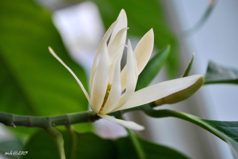 Cây ngọc lan có nguồn gốc từ Ấn Độ