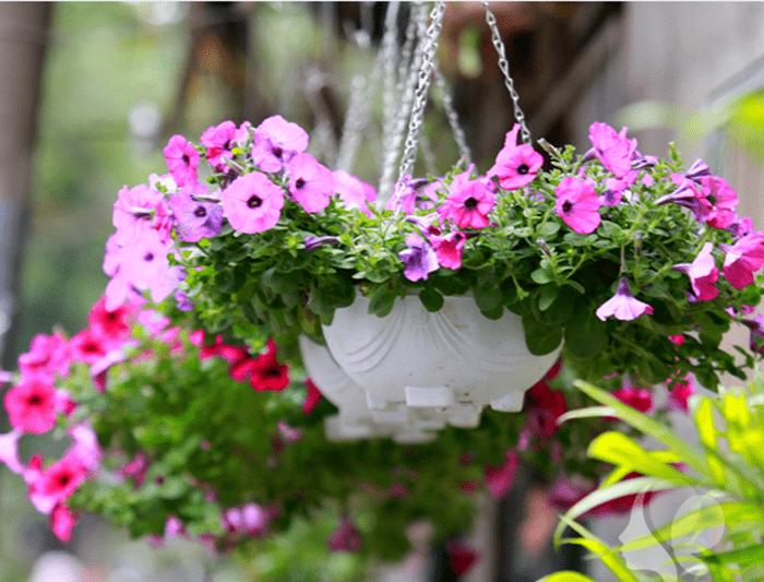 Cây hoa dạ yến thảo trồng ban công