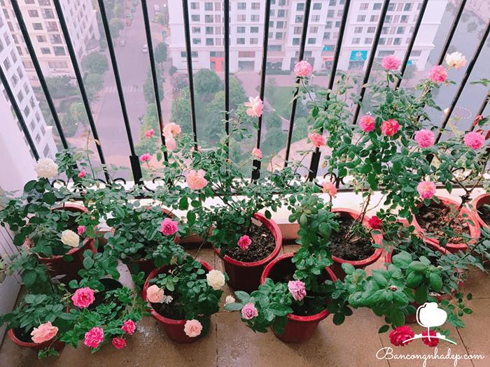 Hoa hồng anh trồng ban công