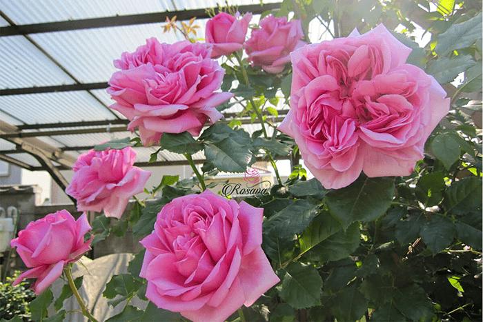 Cây hoa hồng leo trồng ban công