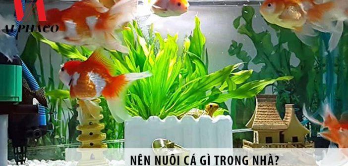 Nên nuôi cá gì trong nhà? Tại sao nên nuôi cá cảnh trong nhà?